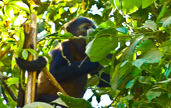 Guiones Howler Monkeys